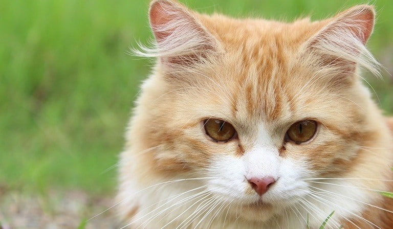 What to do if Your Cat Has Fleas –Guide and Treatments