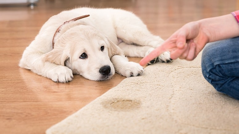 How To Clean Cat Or Dog Pee Out Of Carpet And Remove The Smell Of Urine