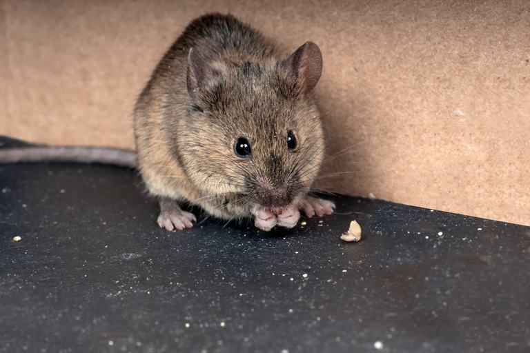 Get Rid Of Mice In Your House (And Keep Them Away)